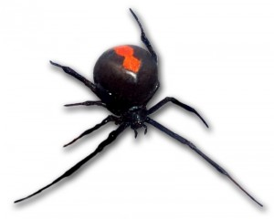 Redback_frontal_view