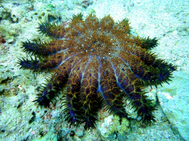Crown_of_Thorns_Starfish_at_Malapascuas_Island