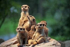 meerkat-658504_640